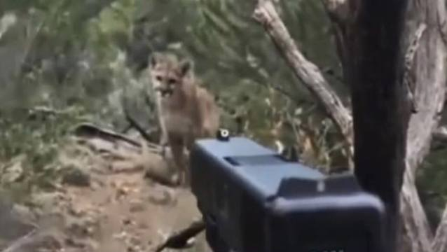 WATCH: Thoughts? Hiker Shoots A Mountain Lion That Was Following Him!